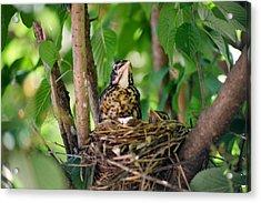 Baby Birds Acrylic Print by CJ Clark