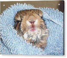 Baby Bunny Rabbit Acrylic Print by Marilyn Magee