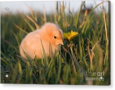 Baby Chick In Green Grass Acrylic Print by Cindy Singleton