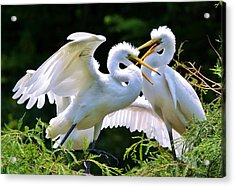 Baby Egrets In The Nest Acrylic Print by Paulette Thomas