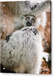 Baby Lemur Acrylic Print by Andrew  Michael