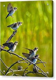 Baby Tree Swallows Feeding #1 Acrylic Print by John Stoj