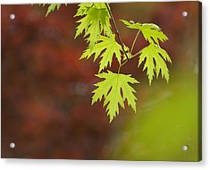 Backlit Maple Leaves On A Branch Acrylic Print by Greg Dale