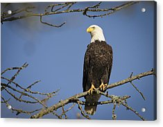 Bald Eagle Acrylic Print by Bruce McCammon
