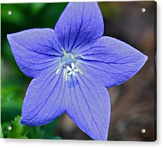 Balloon Flower Acrylic Print by Susan Leggett
