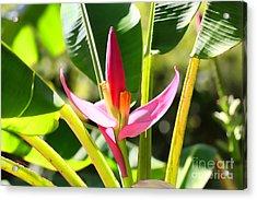 Banana Bloom Acrylic Print by Cheryl Young
