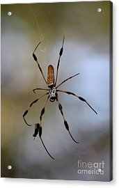 Banana Spider With Prey Acrylic Print by Carol Groenen