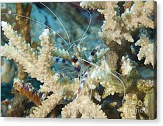Banded Coral Shrimp Amongst Staghorn Acrylic Print by Steve Jones