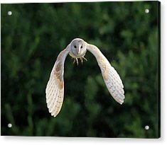 Barn Owl Flying Acrylic Print by Tony McLean