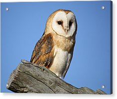 Barn Owl Acrylic Print by Paulette Thomas
