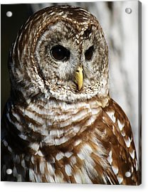 Barred Owl Acrylic Print by Paulette Thomas