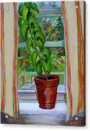 Basil In My Window Acrylic Print by Phebe Smith