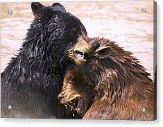 Bears In Water Acrylic Print by Carson Ganci