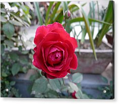 Beautiful Red Rose In A Small Garden Acrylic Print by Ashish Agarwal