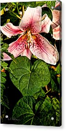 Beauty Acrylic Print by Christopher Holmes