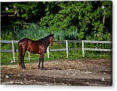 Beauty Of A Horse Acrylic Print by Karol Livote