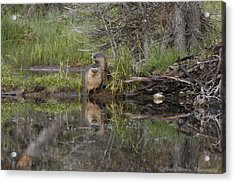 Beaver Pair Acrylic Print by Charles Warren