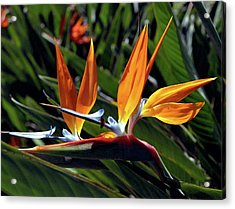 Bee And Bird Of Paradise Acrylic Print by Kevin Smith