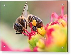 Bee At Work Acrylic Print by Ralf Kaiser