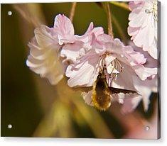 Bee Fly Feeding 1 Acrylic Print by Douglas Barnett