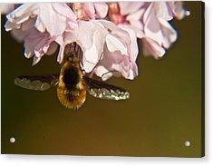 Bee Fly Feeding 5 Acrylic Print by Douglas Barnett