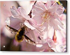 Bee Fly Feeding 6 Acrylic Print by Douglas Barnett
