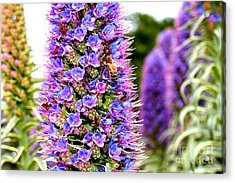 Bee On Purple Pride Of Madeira Flowers . 7d14835 Acrylic Print by Wingsdomain Art and Photography