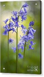 Bells Of Blue Acrylic Print by Jacky Parker