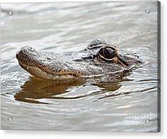 Big Eyes Baby Gator Acrylic Print by Carol Groenen