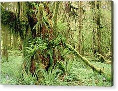Bigleaf Maple Acer Macrophyllum Trees Acrylic Print by Gerry Ellis