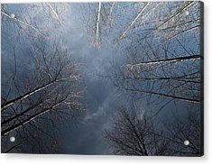 Birch Acrylic Print by James Ingham