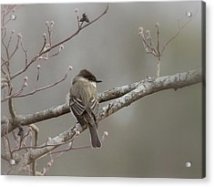 Bird - Eastern Phoebe - Very Contented Acrylic Print by Travis Truelove