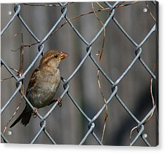 Bird In A Wire Acrylic Print by Joe Wicks