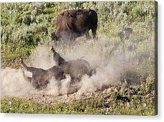Bison Dust Bath Acrylic Print by Paul Cannon