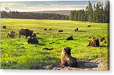 Bison Herd In Yellowstone Acrylic Print by Gregory Dyer