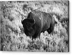 Bison In Black And White Acrylic Print by Sebastian Musial