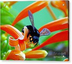 Black  Bumblebee  Acrylic Print by John  Kolenberg