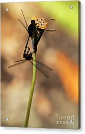Black Dragonfly Love Acrylic Print by Sabrina L Ryan