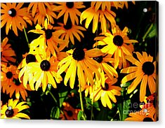 Black Eyed Susans Acrylic Print by Theresa Willingham