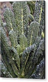 Black Kale (brassica 'nero De Toscana') Acrylic Print by Maxine Adcock