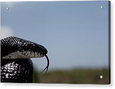 Black King Snake Lampropeltis Getulus Acrylic Print by Medford Taylor