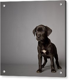 Black Puppy Acrylic Print by Square Dog Photography