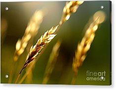 Blowing In The Wind Acrylic Print by Thomas R Fletcher