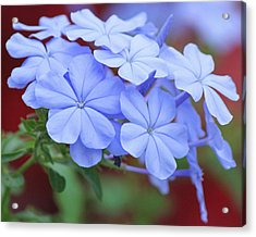 Blue Beauty Acrylic Print by Becky Lodes