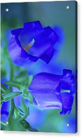 Blue Bell Flowers Acrylic Print by Kathy Yates