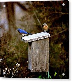 Blue Birds Acrylic Print by Todd Hostetter