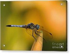 Blue Dasher - D007665 Acrylic Print by Daniel Dempster