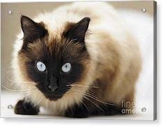 Blue Eyes Acrylic Print by Andrew  Michael