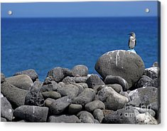 Blue-footed Booby On A Rock By Ocean Acrylic Print by Sami Sarkis