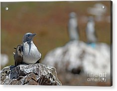 Blue-footed Booby  On Rock Acrylic Print by Sami Sarkis